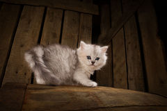 Cat. White cat on wooden background Stock Photography