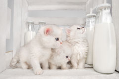 Pussy cats with milk Royalty Free Stock Images
