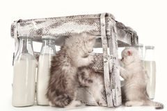 Pussy cats with milk Royalty Free Stock Photo