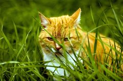 Pussy hunter. Orange tom cat hiding in tall grass hunting crunchy mouse treats Stock Photos
