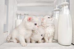 Pussy katten met melk Royalty-vrije Stock Afbeeldingen
