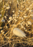 Tail Grass Plants royalty free stock images