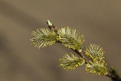 Pussy-Weide im Frühjahr Stockfotografie