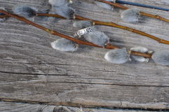 Pussy-Weide verzweigt sich mit einem silbernen Ring auf einem Holztisch Stockbild