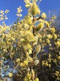 Pussy-wilg tak in bloei in het bos royalty-vrije stock afbeeldingen