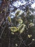 Pussy-wilg tak in bloei in het bos stock fotografie