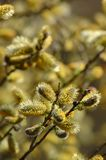Pussy-willow. Yellow Bud of pussy-willow Royalty Free Stock Photography