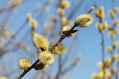 Pussy-willow. Branch of a willow against the blue sky royalty free stock photography