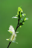 Pussy-willow Stock Image