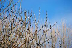 Pussy-willow. S is the first sign for departing winter and coming spring royalty free stock photography