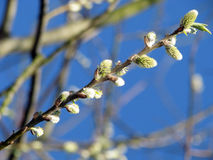 Willow. Early spring picture Royalty Free Stock Photo