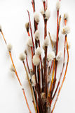 Pussy-willow. Bunch of Pussy-willow on a white background Stock Photo