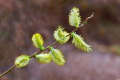 Pussy-willow Stock Photography