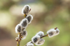 Pussy Willow Stock Photos