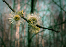 Pussy willow. Close up of blooming pussy willow with azure sky Stock Photography