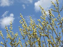 Pussy willow. Spring pussy willow branches in blossom against blue sky Royalty Free Stock Photos