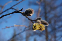 Pussy-willow1 Photographie stock