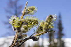 Pussy-willow14 Photos stock