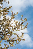 willow against blue sky royalty free stock photo