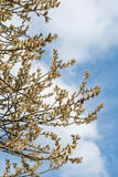 willow against blue sky stock images