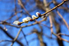 Free Pussy Willow Bloom Stock Photo - 143710180