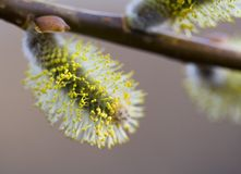 Pussy-willow Blossom Stock Image