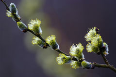 Pussy willow blossom Stock Photography