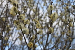 Pussy-willow. Blossoming willow. Spring came. Sunny April. Beauty of nature. Mysterious spring forest Royalty Free Stock Photography