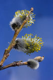 Pussy-willow Stock Photo