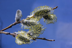 Pussy-willow Royalty Free Stock Image