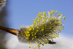 Pussy-willow№19 Royalty Free Stock Photos