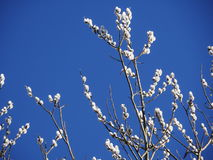 Pussy willow blue sky Royalty Free Stock Photo