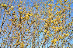 Pussy willow on blue sky. Royalty Free Stock Photos