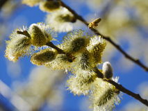 Pussy willow blue sky Royalty Free Stock Image