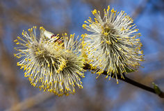 Pussy-Willow branch Royalty Free Stock Images