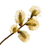 Pussy-willow branch Royalty Free Stock Image