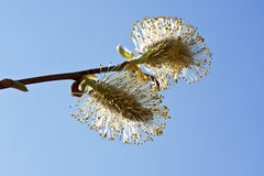 Pussy-Willow branch in bloom. Close-up Royalty Free Stock Photo