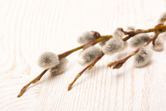 Pussy willow branch. Stock Images