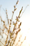 Pussy-willow branch at dawn Royalty Free Stock Images