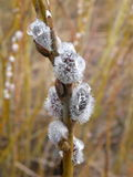 Pussy willow branch , Lithuania Royalty Free Stock Photography