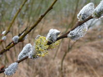 Pussy willow branch , Lithuania Royalty Free Stock Photos
