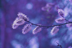 Pussy willow branch. Purple colored Stock Photos
