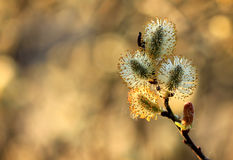 Pussy willow branch in spring nature Stock Images