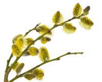 willow branches Stock Photos