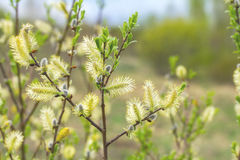 Pussy willow branches Royalty Free Stock Images