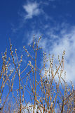 Pussy-willow branches on blue background of sky Stock Photos