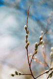 Pussy willow branches with blue sky background. Soft floral spring frame with very shallow dof Royalty Free Stock Photography