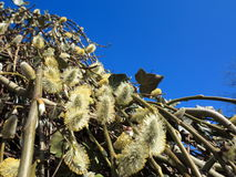 Pussy willow branches with catkins blue sky Royalty Free Stock Photo