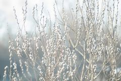 Pussy-willow branches with catkins, spring background stock image