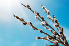 Pussy willow branches flowering in spring Stock Photo